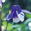 今日の誕生花「オダマキ」西洋オダマキが入ってきて色も形も豊富な花!