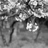 モノクロフィルムで桜