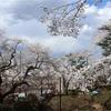 多摩川桜百景 -96. 富士森公園-