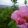 今日の散歩は南足柄市千津島の酔芙蓉農道。お花の下見をしてきました。