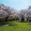 桜 さくら ♬