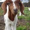 子ヤギ産まれました!~ナイーブMEと29匹の子ヤギ~
