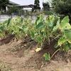 サトイモの中耕と土寄せ
