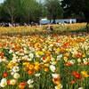 春先の花畑と白カーネーション