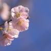 まだ桜が咲いてます:晩秋の庭