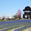 世羅高原農場の花畑風景 NO,1(広島県世羅町)