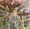 2020 リプサリスの開花