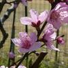 桃の花は女子の色