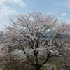桜を求めて北関東へ