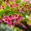 河津桜、なごりの葉桜。美しいですね~
