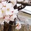 春の金沢城・玉泉院丸庭園 城郭と石垣に映える桜たち