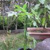 9/2 夏オクラ植えてみました。 23日目