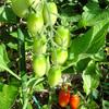 トマト収穫開始