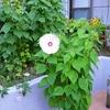 庭先の花と野菜
