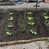 最近の菜園…チシャやサニーレタスはもう食べれます、そろそろ白菜が収穫できそうです