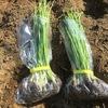 定植したタマネギは全部で100本