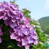 天空の茶畑 《#2》 ― 疲れを癒してくれる紫陽花たち ―