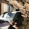 桜に雪、ツバメの前にサシバ。なんか変な感じやな。