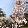 2019年3月30日 京都桜情報 桜が満開でない今のお勧めは?