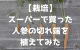 【栽培】スーパーで買った人参の切れ端を植えてみた ~果たして人参は育つのか?~
