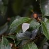 11/19,23・いよいよ越冬蝶の季節になりました 〜 ウラギンシジミとムラサキシジミ