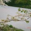 あなたの見てる桜、それ桜の「仮の姿」だから