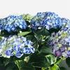 来年も咲かせたい!紫陽花(アジサイ)の管理方法の御紹介!
