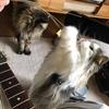 毎年恒例、ギターの弦で猫と遊ぶ