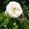 この時期なのですが、初めて、僕の庭で咲きました「ビブ・ラ・マリエ!」