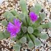 多肉植物の花7