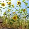壮瞥町 道沿いに広がるひまわり畑の黄色毯