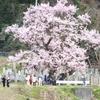 桜守   清水の桜