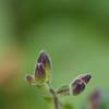 杜鵑草のつぼみ