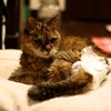 老猫さくら 介護とオムツ