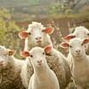羊の脳みそを食したお話