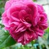今朝の庭・・・ウイリアムシェイクスピア2000の二番花