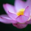 夏の桃色:2000年前の大賀ハス