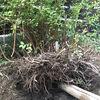 庭の改造:ユキヤナギを移植