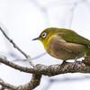 🐦野鳥の回【22】🆕 メジロ(目白)超カワ(・∀・)イイ!!人気の野鳥