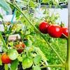 種から育てるミニトマト☆プランターで家庭菜園