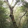 日本一大きい桜の木を探訪!