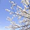 桜さん🎵今年も逢えた🎵