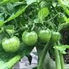 梅雨の菜園