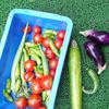 まだ収穫できるゴーヤたち夏野菜