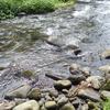 神奈川県の川でルリヨシノボリ、シマヨシノボリ、ボウズハゼなど