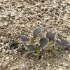 発芽後の成長 葉が紫色のチンゲンサイ