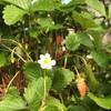 ワイルドストロベリーの秋