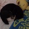 きちんと寝具を使う犬