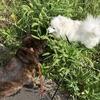 甲斐犬サンとネェネと日本スピッツ マコの日常〜(=゚ω゚)ノぃょぅ‼︎
