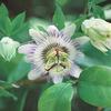 今日の誕生花「トケイソウ」時計にそっくりなトケイソウの花!